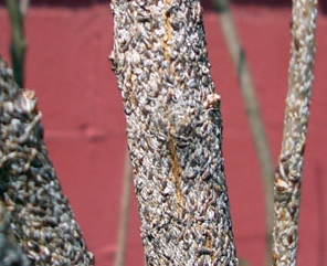 SCALE ON LILACS    Typical insect controls for Scale - Dormant season: Horticultural oil applied in early spring before leaves appear. Growing season: Contact insecticides that kill young scale crawlers.