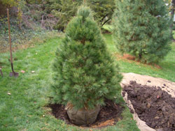 6. Set the tree - Place the tree lifting it by the root ball -- don't yank on the tree trunk since this could damage roots. Ensure the tree is at the proper depth, with the top of the root ball slightly above the surrounding soil. Try to get the tree to stand-up straight on its own right from the start. Lightly pack some soil evenly around the base of the root ball, then check for straightness (plumb) from two sides.