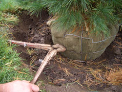8. Remove root constrictions - Use bolt cutters to remove at least the top half of the wire tree basket. While removal of the entire basket might be ideal, it usually isn't practical, since complete removal may cause the root ball to fall apart.