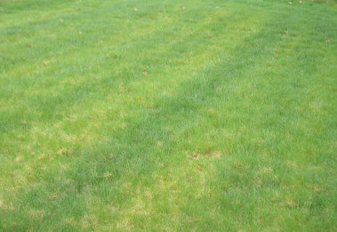 "SEEING SKUNK STRIPES?  ""Skunk Stripes"" are due to uneven fertilization , more fertilizer was applied in the dark green stripes."