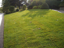 Finished sod lawn - Thoroughly watered-in with more watering every day or two until the sod