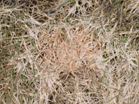 Snow mold - Bleached-out, dead-looking grass is a typical symptom in Spring. These fungal lawn diseases occur during winter and are most severe where snow cover lasts much of the winter. Gray snow mold is the least serious killing only grass blades, while pink snow mold can kill crowns and roots.