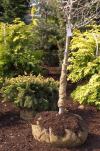 B&B trees and shrubs heeled-in with shredded bark mulch at a nursery in Spring.