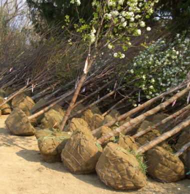 """Notice how the rootballs have been tapered inward toward the bottom and wrapped with burlap. Large rootballs like these are also """"caged"""" with wire baskets or twine drum-lacing secured to tree trunks."""