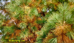 White Pines shed their older needles in late summer or early fall.