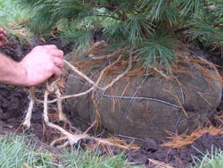Soil weighs about 100 lbs per cubic foot so a root ball can easily weigh a couple hundred pounds. Lift it by the rootball - try having two people lift with one on each side to help prevent back injuries.