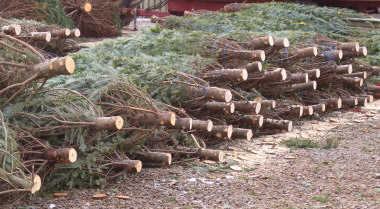 Trees bundled, stacked and ready to sell at a Christmas tree sales lot. The more recently a tree was cut, the longer it will stay fresh inside your house.