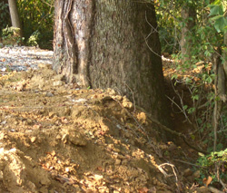 To create a level parking area, soil fill was carelessly graded right up against this tree trunk.