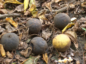 During the fall you'll find Black Walnuts (and usually squirrels) beneath the trees