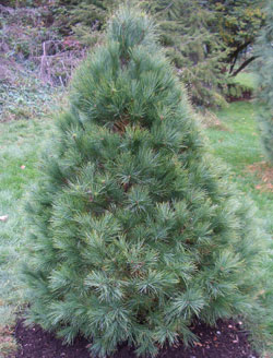 White Pine is a very popular landscape tree