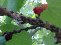 """Scale """"shells"""" along a branch can look like part of the tree"""