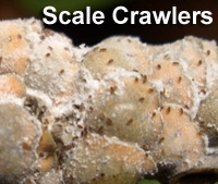 Magnolia branch covered with scale where crawlers have begun to emerge
