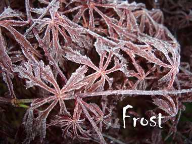 Frost on a tender Laceleaf Japanese Maple is especially brutal!