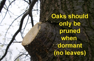 oak-branch-cut.jpg