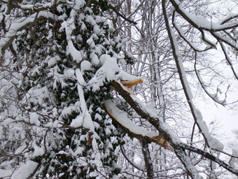 Large limbs high in a tree are best left for the professionals to remove.