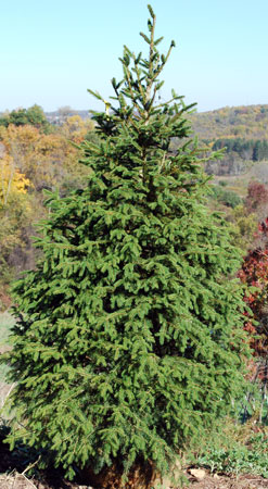 Nursery grown Norway Spruce tree