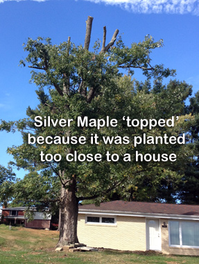topped-maple.jpg
