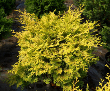 Chamaecyparis obtusa 'Crippsii' - Golden Hinoki CypressSlow pyramidal growth to 12 ft. tall x 6 ft. wide. Sun to partial shade. Protect foliage from winter winds.