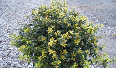 Ilex crenata 'Green Lustre' - Japanese Holly Green LustreCompact evergreen shrub with moderate growth for use in hedges, masses or foundation plantings. Grows 4 ft tall and 8 ft wide in full sun to partial shade. Protect from harsh winter winds.