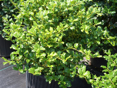 Ilex meserveae 'Mesog' - China Girl HollyLighter green leaf than the Blue Hollies, yet similar. Hardy, takes shearing well. Growth to 8 ft x 8ft. Red berries.