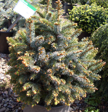 Picea sitchensis 'Papoose' - Dwarf Sitka SpruceContrasting needles are dark green underneath and silvery blue on top. Grows to 3 ft tall x 3 ft wide. Excellent evergreen for a dwarf conifer collection, rock garden or along a shrub border.