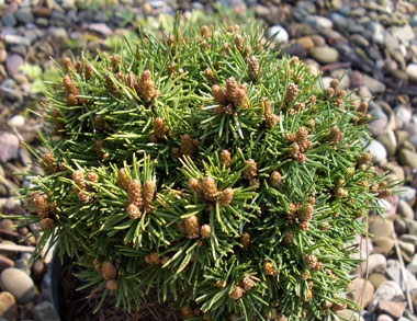 Pinus parviflora 'Little Hedgehog' - Little Hedgehog Japanese White PineMiniature conifer which grows to 2 ft tall and 3 ft wide. Great for small gardens, rock gardens and shrub borders. Hardy to Zone 5.