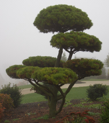 'Pom-Pom' Pine - Several varieties of pine can be used to create