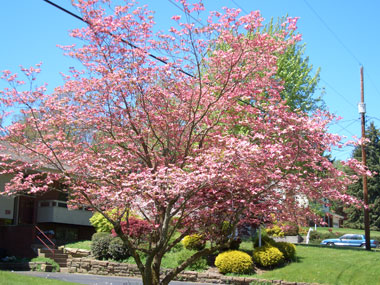 Cornus florida - Eastern Flowering DogwoodPink or white spring flowers, appearing earlier than Kousa dogwood. Slow to moderate growth to 35 ft tall. Note: Some dogwoods labeled