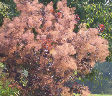Cotinus coggygria - Purple Smoke TreeBlossoms look like puffs of smoke, hence the common name. Standard variety of smoke tree has green leaves, unlike the Royal Purple and Velvet Cloak varieties with maroon colored leaves.