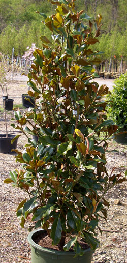 Magnolia grandiflora 'Bracken's Brown Beauty' - Southern MagnoliaGlossy evergreen foliage. Moderate growth to 30 foot height and 25 foot width in hardiness zones 6 - 9. White flowers in May-June.