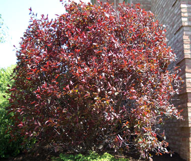 Prunus x cistena - Purpleleaf SandcherryMulti-stemmed small tree with pink flowers and reddish-purple leaves emerging at the same time in Spring. Moderate growth to 8 ft. tall x 6 ft. wide.