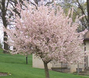 Most crabapples need periodic trimming to remove water sprouts and root suckers. Many trees will also benefit from some light shaping, best done within the first month after they bloom, to avoid removing next year's flowers.