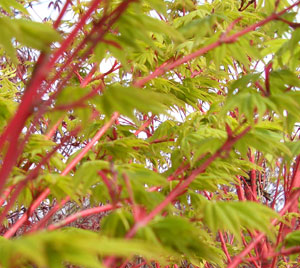 Acer palmatum 'Sango Kaku' - Coral Bark Japanese MapleBright deeply cut, pale green leaves contrast against bright red-coral branches. Leaves turn golden yellow in fall. Prefers full sun in northern parts of its growing range, Zone 5 - 8.