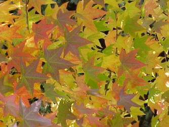 Liquidamber styraciflua - Sweet GumAttractive star-shaped leaves, especially in 3-dimensional fall colors of scarlet, yellow and orange. Moderate to rapid growth to 75 ft. height with 45 ft. width. Complaints: surface roots, drops gumballs.