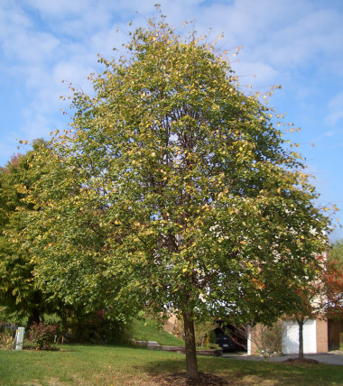 Tilia cordata 'Greenspire' - Greenspire LindenFast growing family of trees with the Greenspire reaching 50 ft. Makes a good lawn or street tree.
