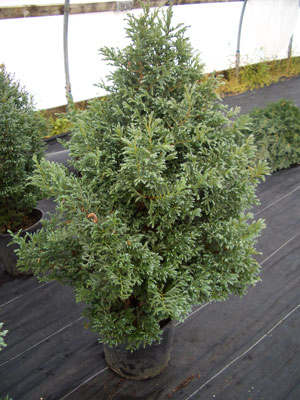 Chamaecyparis pisifera - Boulevard CypressCone shaped conifer with silver-blue foliage. Slow to moderate growth to 10 feet tall x 5 feet wide.