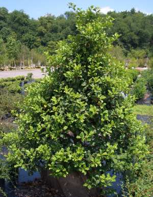 Ilex opaca - American HollySlow growing, pyramidal shaped evergreen, with growth to 45 ft tall x 25 ft wide. Takes well to shearing, which can be used to control its size. Must have both a male and female for berry production
