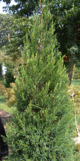 Juniperus chinensis 'Hetzii Columnaris' - Columnar Hetz JuniperGrow in full sun. Fast growing to 15 ft tall x 6 ft wide. Shear foliage to maintain a more compact shape. Drought resistant.