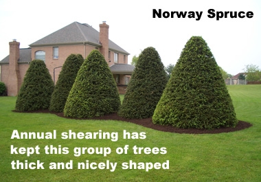 Picea abies - Norway SpruceFast growing evergreen that makes a good screen or specimen when sheared like the tree pictured. Tolerant of more shade than other Spruces and somewhat deer resistant. Good replacement for the overplanted White Pine since it keeps better shape without annual shearing.