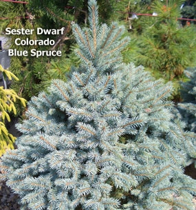 Picea pungens 'Sester Dwarf' - Sester Dwarf Colorado Blue SpruceSlow broad upright growth gives it a conical form that requires very little trimming. Brilliant blue needles. Zone 2 hardiness. Likes full sun.