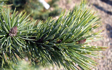 Pinus aristata - Bristlecone PineGreat for rock gardens or bonsai. Very slow growing to 20 ft tall x 15 ft wide. Grow in full sun. Tolerates poor soil. Hardy in Zones 4 - 7.