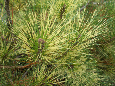 Pinus densiflora 'Oculus Draconis' - Dragon's Eye PineGrow in full sun. Unusual green needles with yellow bands. Slow to moderate growth into an irregular pyramidal shape. Used as a accent tree in the landscape.