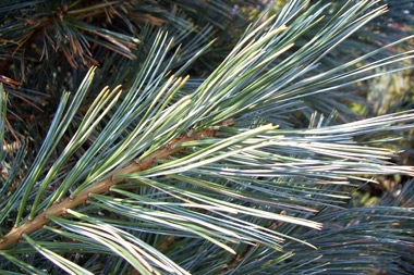 Pinus flexilis 'Vanderwolf's Pyramid' - Vanderwolf PineSilver-green evergreen needles.Moderate growth rate-- shorten new growth in June to keep shapely and compact.