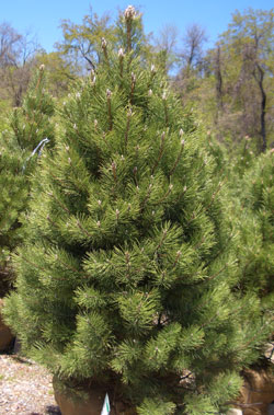 Pinus nigra - Austrian PineBroadly pyramidal evergreen with moderate growth to 50 ft tall x 30 ft wide.