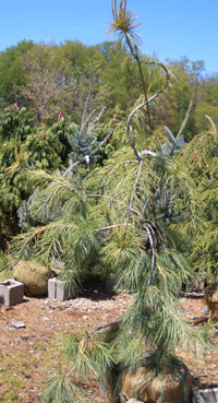 Pinus strobus 'Pendula' - Weeping White PineExcellent specimen plant with soft bluish-green evergreen foliage and moderate, weeping growth habit. Height determined by training of the leader, usually seen around 15 ft tall.