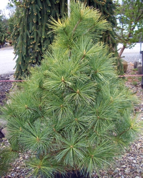 Pinus strobus 'Louie' - Louie Eastern White PineDrought tolerant, pyramidal evergreen with slow growth to 10 ft tall x 7 ft wide. Golden-green needles in spring turn bright gold in fall. Low maintenance. Hardy to Zone 3.