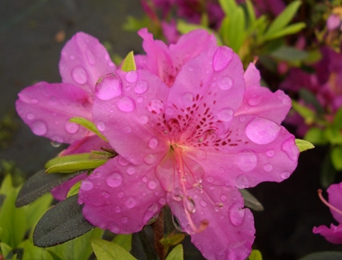 AZALEA 'Karen' - Karen AzaleaThis evergreen Gable hybrid azalea with lavender-purple blossoms prefers partial shade. Used for hedges, borders, foundation plantings or in masses. Burgundy foliage in fall. Slow growth to 4 ft tall x 4 ft wide. Hardiness zone 5 to 8.
