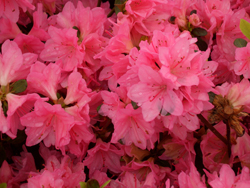 'Tradition' Azalea
