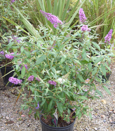 Buddleia - Butterfly BushAttracts butterflies and hummingbirds with flowers blooming on new growth during summer. Cutback to 12-inch stems in early spring for rapid regrowth to 6 ft tall. Varieties with blue, white, or purple flowers, good for cutting.
