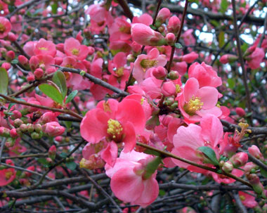 Chaenomeles - Flowering QuinceTypically a larger shrub best reserved for property line plantings due to its size. Fruits are sometimes used to make quince preserves. Quince shrubs have thorns making them suitable for barrier plantings.